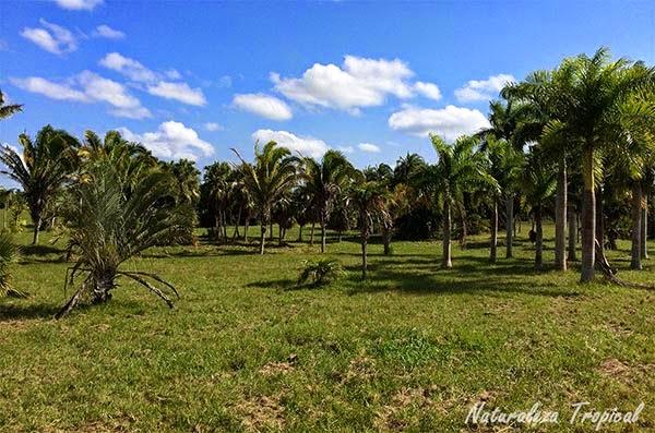 Palmetum del Jardín Botánico Nacional de Cuba