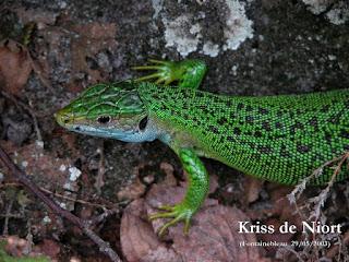 Lézard vert de France