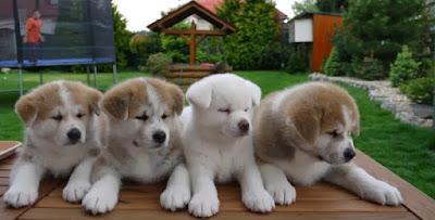 Cute-Akita-Puppies-image