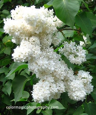 lilac trees and shrubs in flower syringa vulgaris