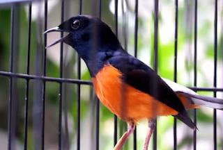 Burung Murai Batu -  Empat Faktor yang Harus Diperhatikan Sebelum Memaster Burung Murai Batu - Penangkaran Burung Murai Batu