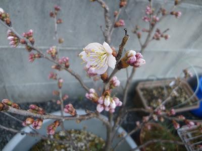 さくらんぼ 花