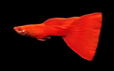 Ikan Guppy - Cara Budidaya Ikan Guppy