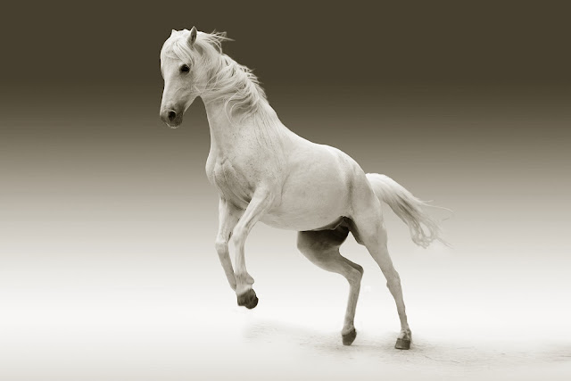 White Wild Horse HD Wallpaper