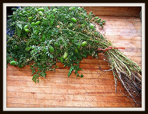 Kabuli Chana Plant 'Anirdeshiy...