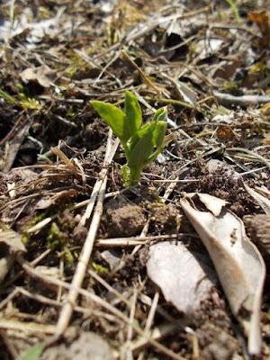Coltivare i legumi in un orto biologico: i piselli