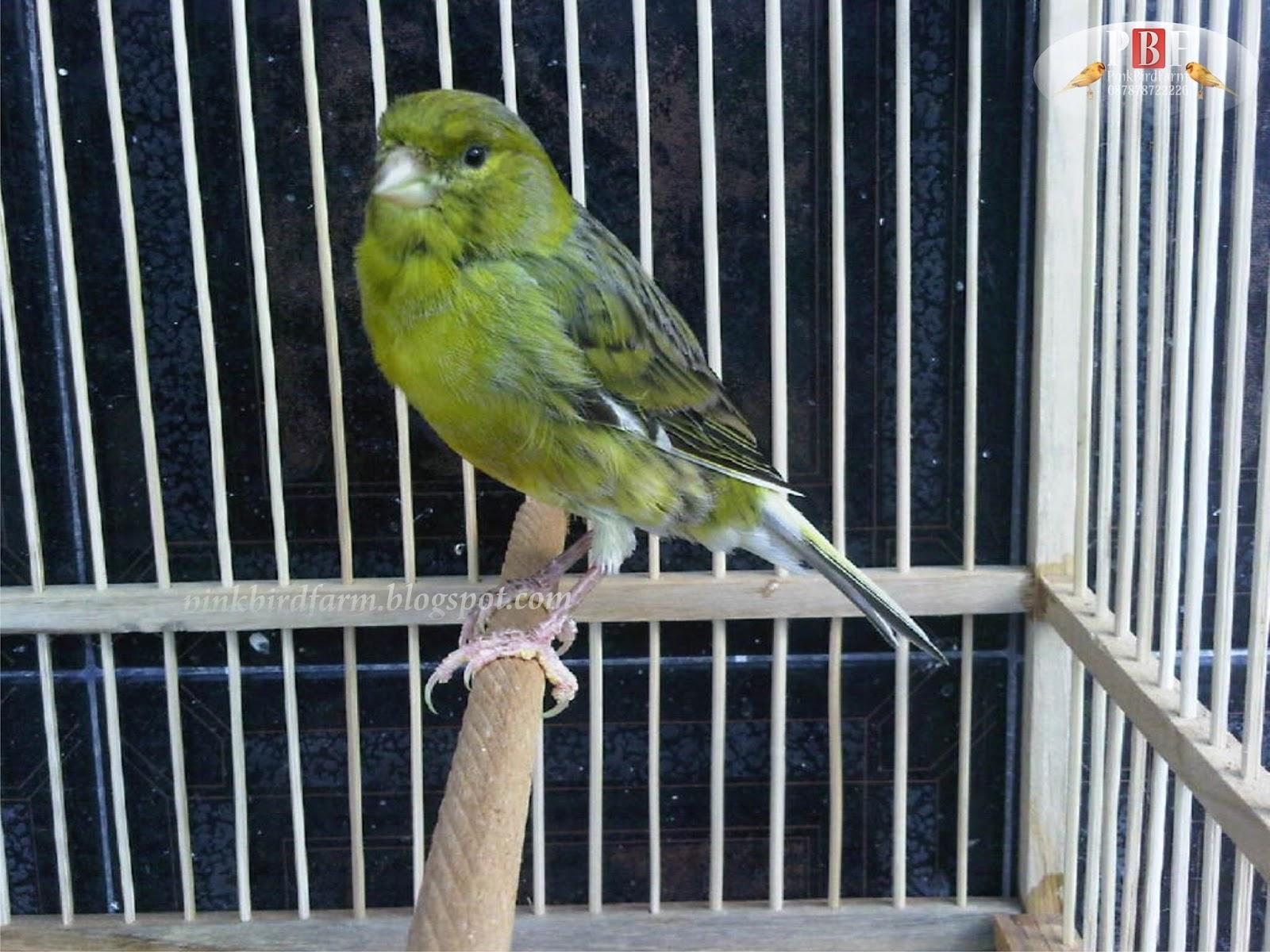 harga burung kenari lokal hijau harga c