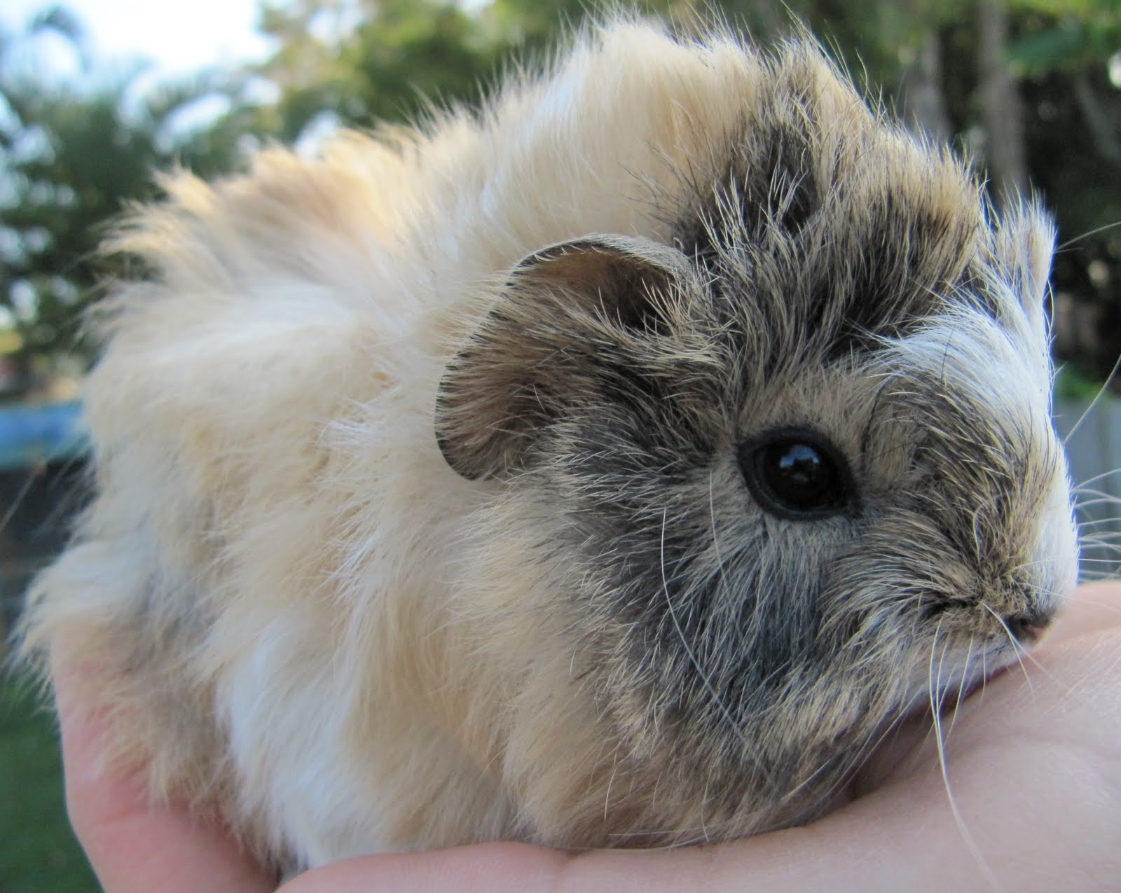 All Things Guinea Pig: Alice and her babies - 3.5wks