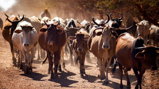 Zimbabweans donate cattle to AU after Robert Mugabe appeal