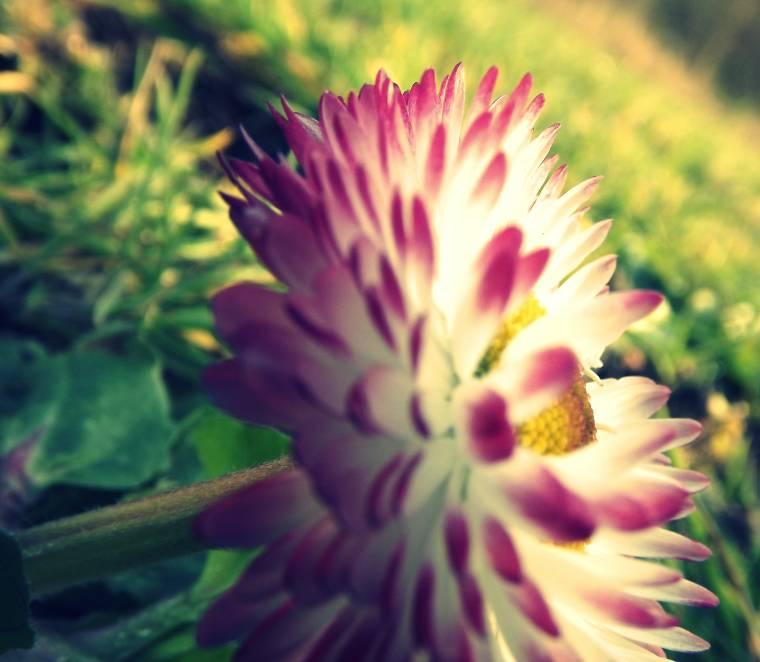 Pink Daisy: Wordless Wednesday Photo Linky