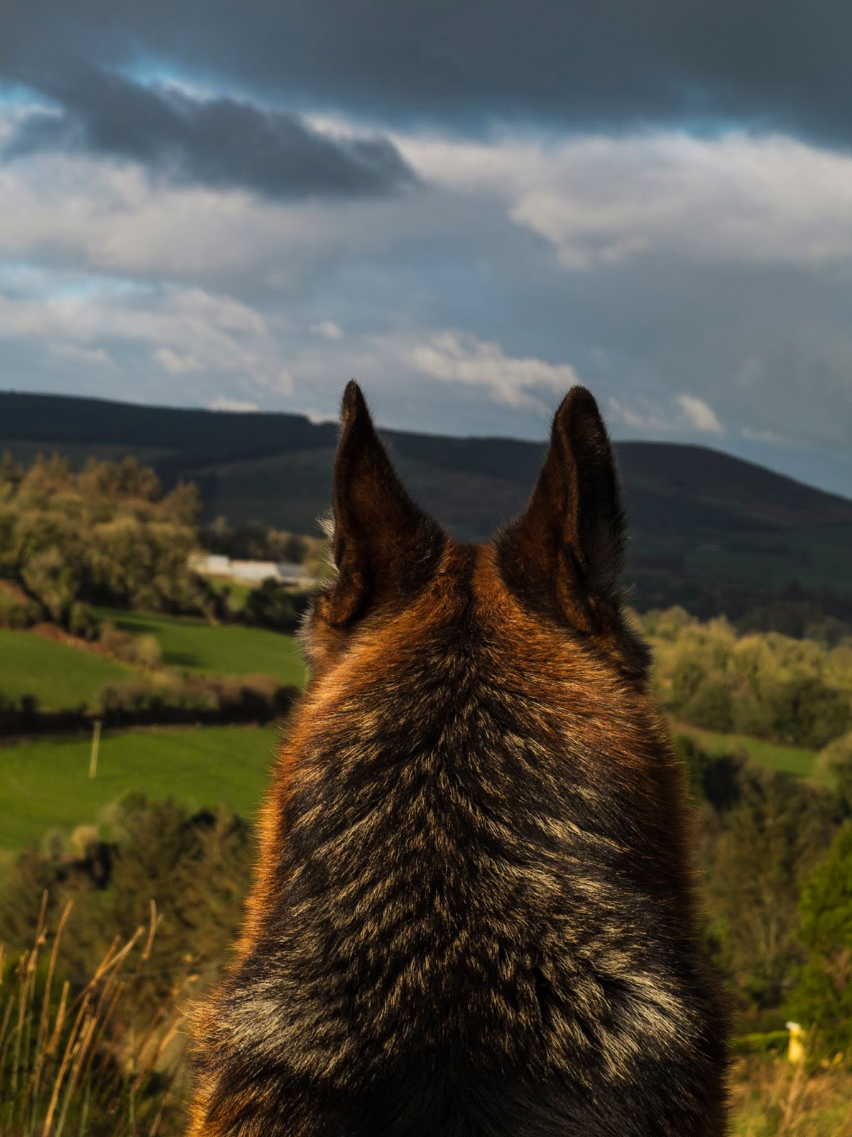 The back of a German Shepherd's head sitting on a hillside and looking down the valley.