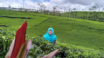 Kebun Teh Kabawetan Kepahiang Bengkulu