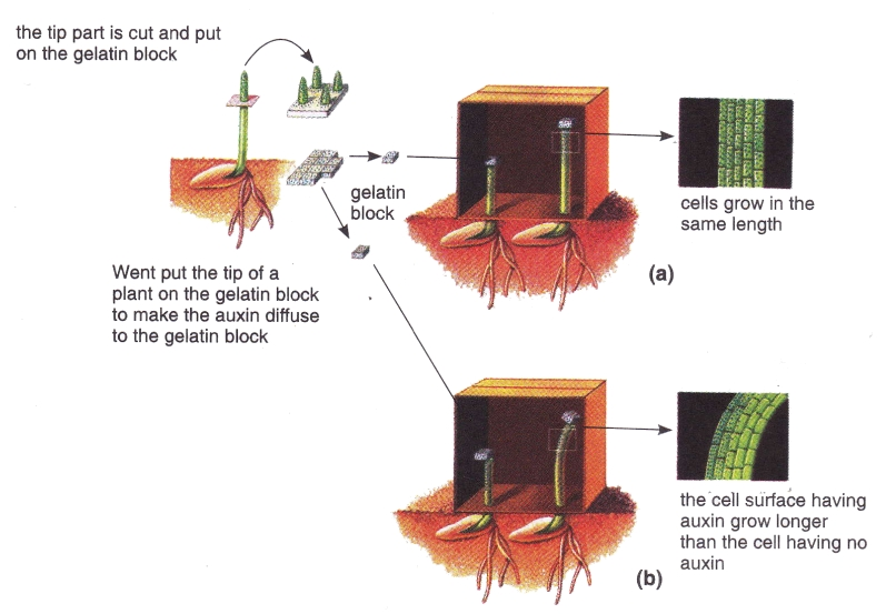 plant growth auxin It describes discovery, various experiments, physiological effects and bio assay of auxin shoes note on synthetic auxin also includes detail of discovery, applications and bio assay of gibberellins.