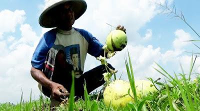 Cuaca Ekstrim, Petani Buah Semangka di Jombang Beralih Tanam Bawang Merah