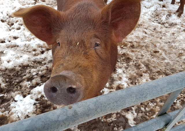 Happy as pigs in snow at Whitmuir