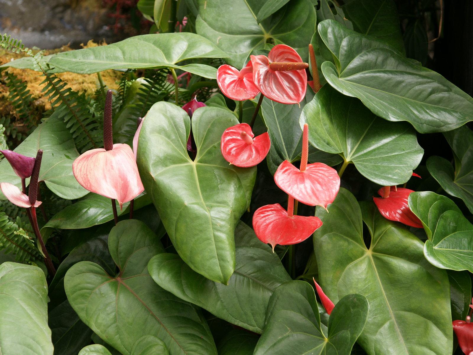 Flower Picture: Anthurium Flower