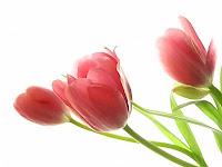 Pembe lale çiçekleri
