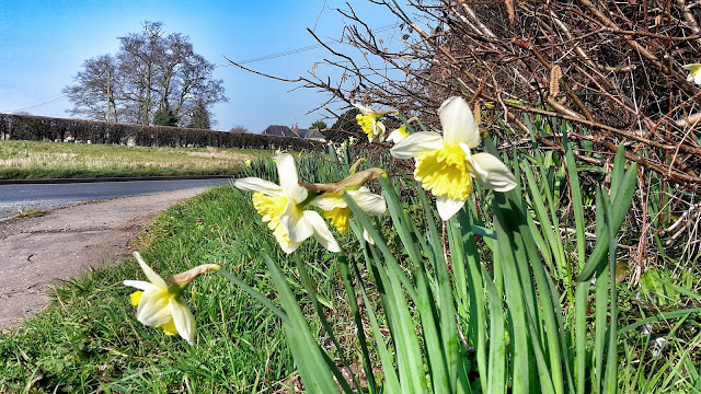 Project 366 2016 day 81 - Daffodils on the lane // 76sunflowers