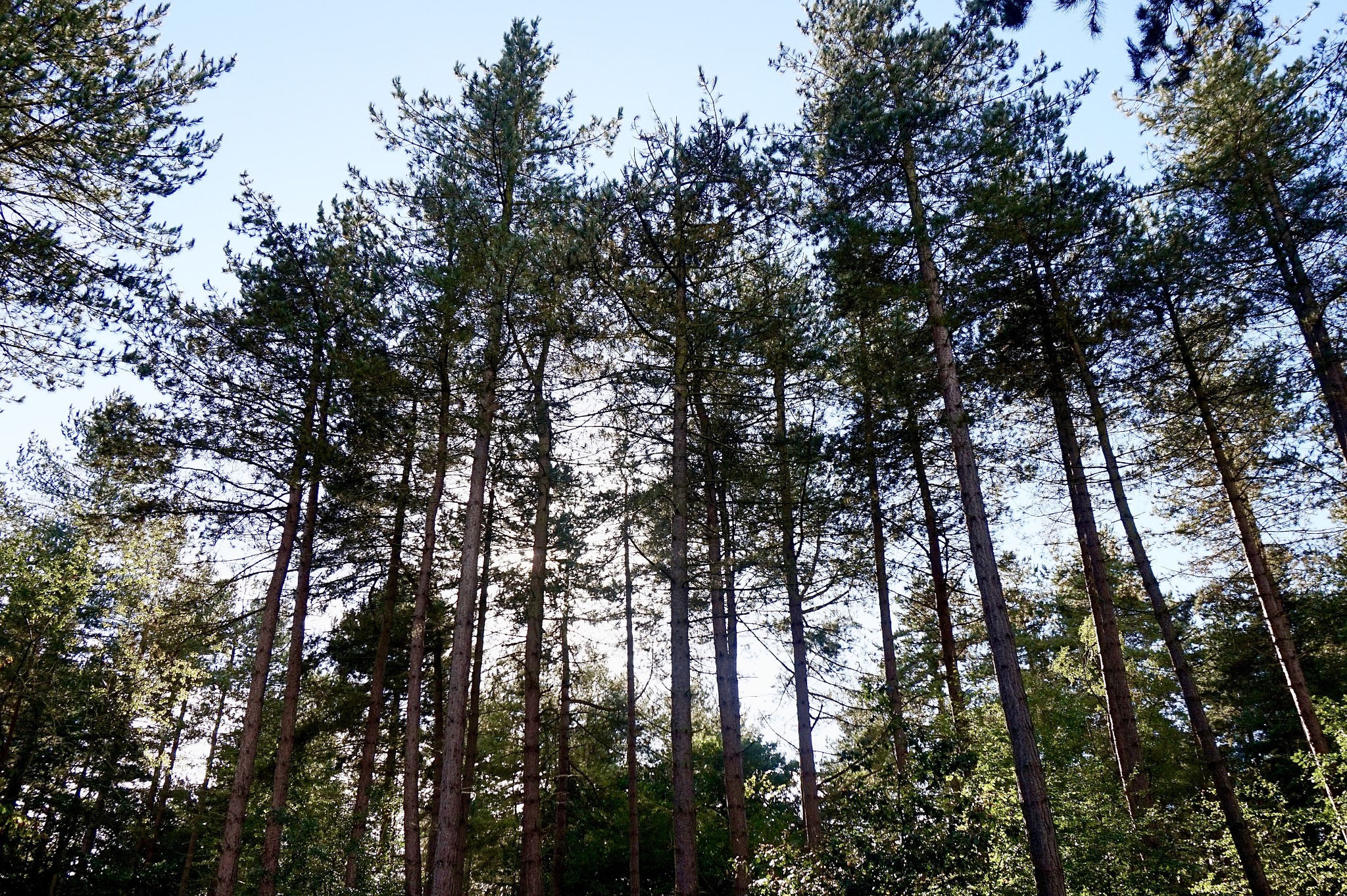 blue sky through tall trees in forest