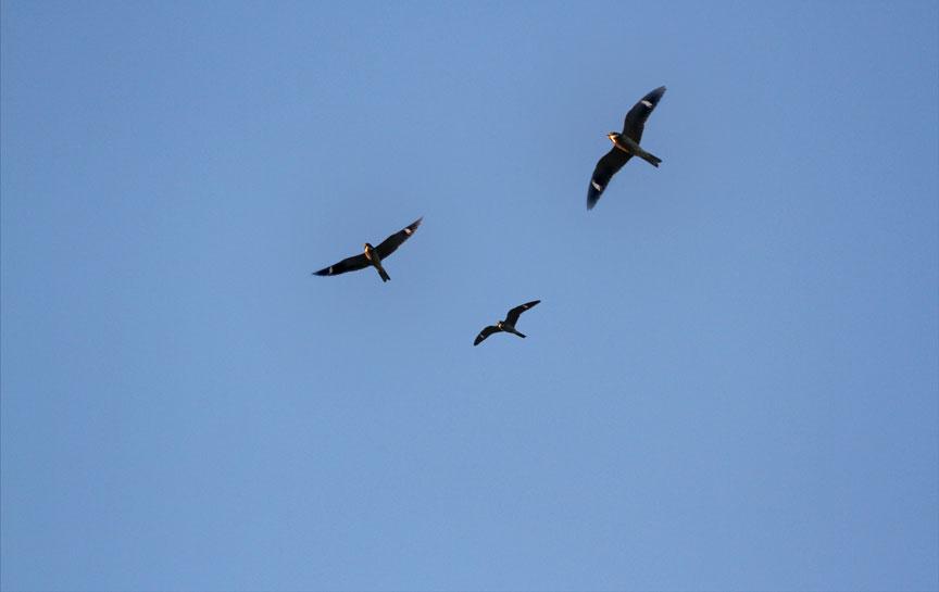 B I R D Common Nighthawk Migration