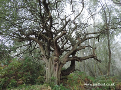 Ancient Hawthorn Skipwith Common Near Selby