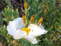 Matilija poppy in bloom at the trailhead for Colby Trail on Loraine Avenue in Glendora