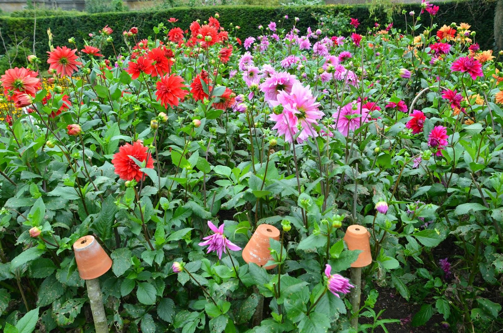 Seed to Feed Me: HOW TO PLANT DAHLIA TUBERS