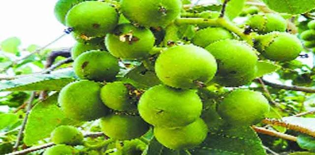 मारवाड़ी गूंदे की सब्जी से बुढ़ापा रहेगा दूर