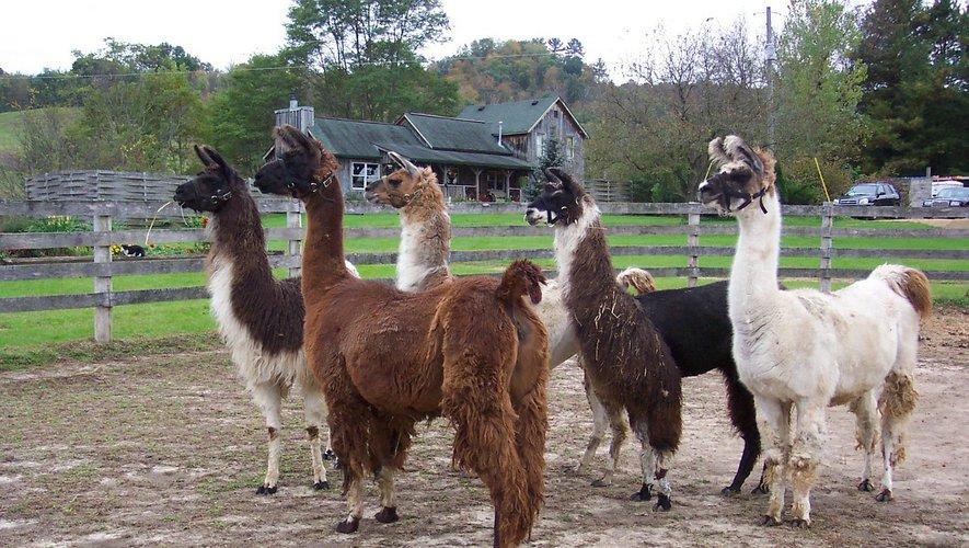 Crise sanitaire, :  Et si le lama était la solution miracle contre le Coronavirus?