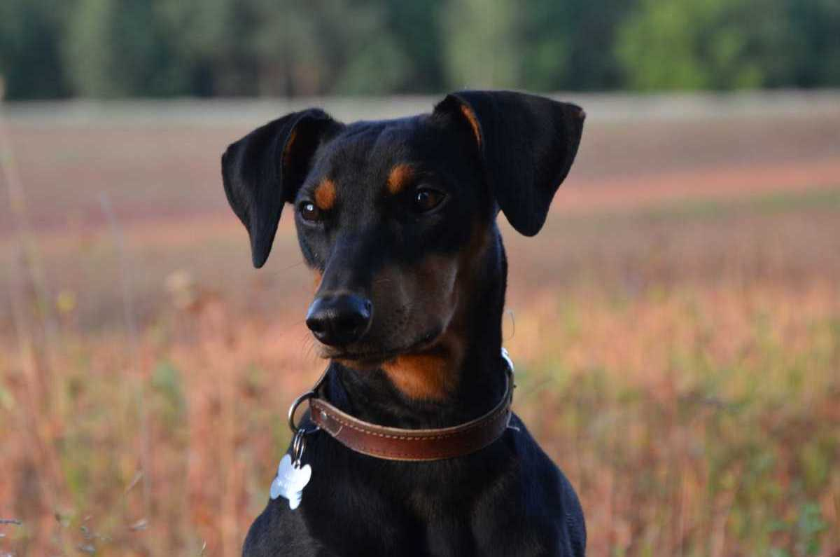 Everything About Your German Pinscher Luv My Dogs