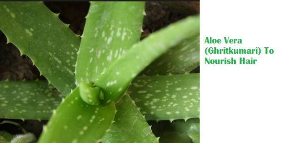 Aloe Vera (Ghritkumari) To Nourish Hair