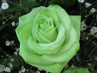 100% free to use high quality images customize and personalise your device with these free wallpapers! Allinallwalls : Most beautiful green roses in the world