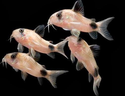 cá chuột gấu trúc vừa vệ sinh hồ, vừa mang đến vẻ đáng yêu cho hồ thủy sinh của bạn