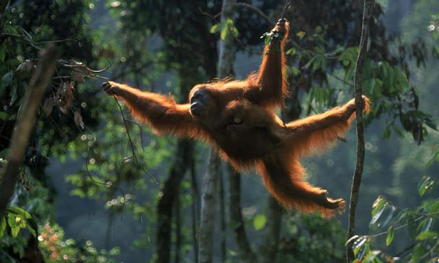 Kronologi Penyitaan Orangutan di Abdya