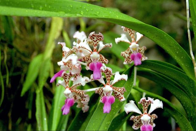 Gambar Bunga anggrek vanda