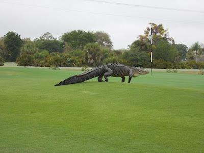 Buaya Gergasi Muncul di Padang Golf Amerika Syarikat