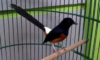 Tips Perawatan Burung Murai Batu Kontes