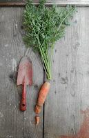 Coltivare le carote in un orto biologico.