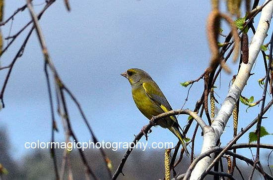 European Greenfinch mail - Carduelis chloris