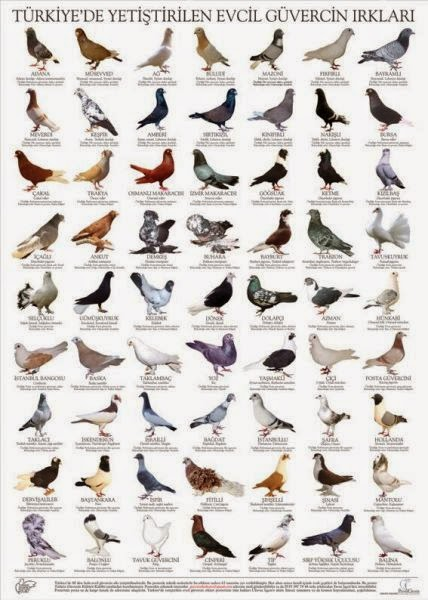 Güvercin Türleri