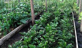 specii de plante legumicole,