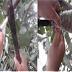 Perbanyakan Vegetatif dengan Cangkok