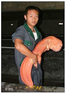 A monster of a Salamander