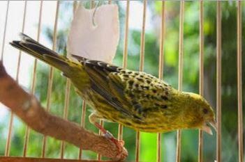Unduh Suara Burung Kenari Lizard Mp3