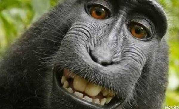 Pengadilan Banding AS Tolak Hak Cipta 'Monyet Selfie' dari Sulawesi