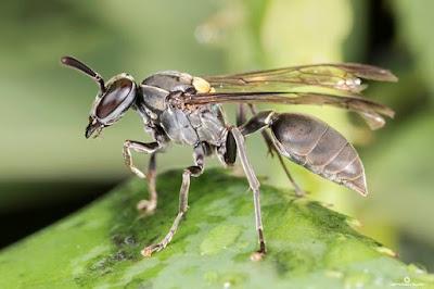 Maribondo, Polybia paulista, vespa, curar o câncer, cura do câncer, animal, veneno de vespa combate o câncer, câncer, cura que vem da natureza, blog natureza e conservação, natureza e conservação, pesquisa