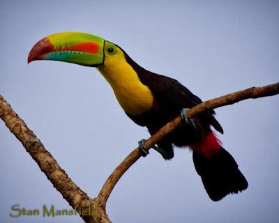 Tucán de pico multicolor Ramphastos sulfuratus