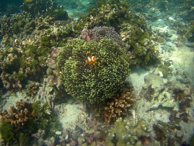 clown fish di pahawang