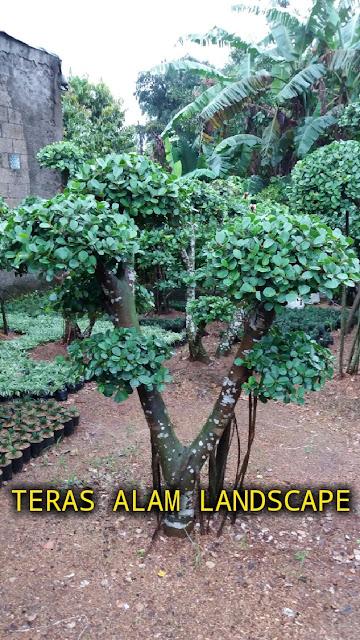 pohon bonsai beringin korea