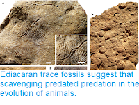 http://sciencythoughts.blogspot.com/2019/01/ediacaran-trace-fossils-suggest-that.html